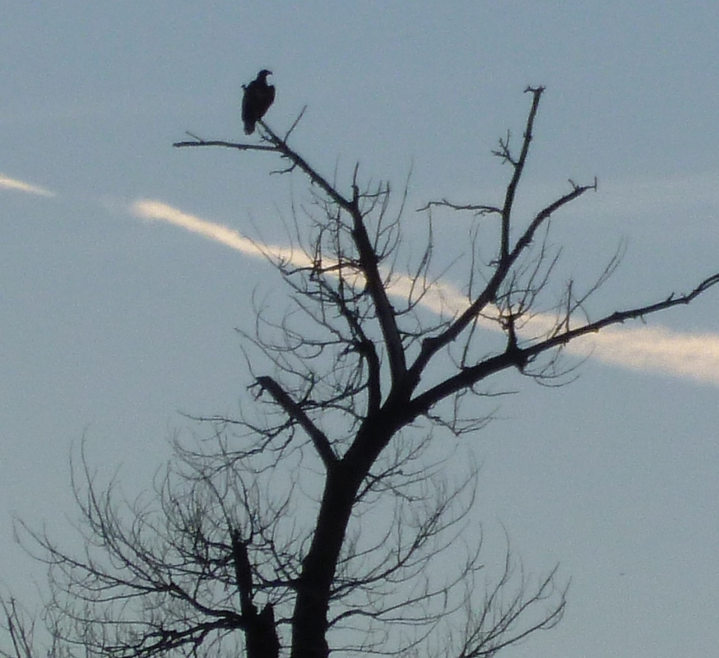 Bald Eagle 1 5 12