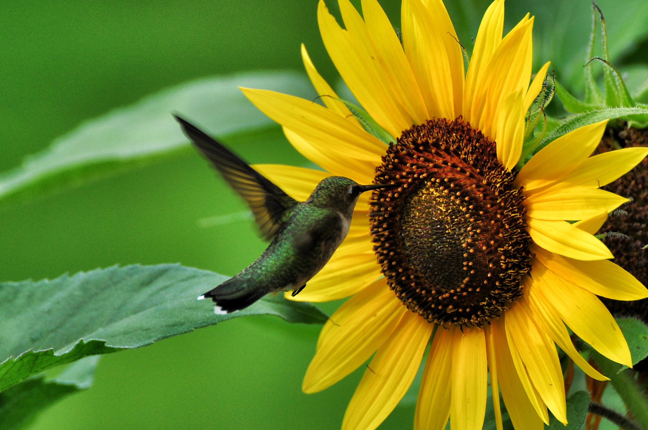 Sunflowers  Whats 4 Dinner Solutions