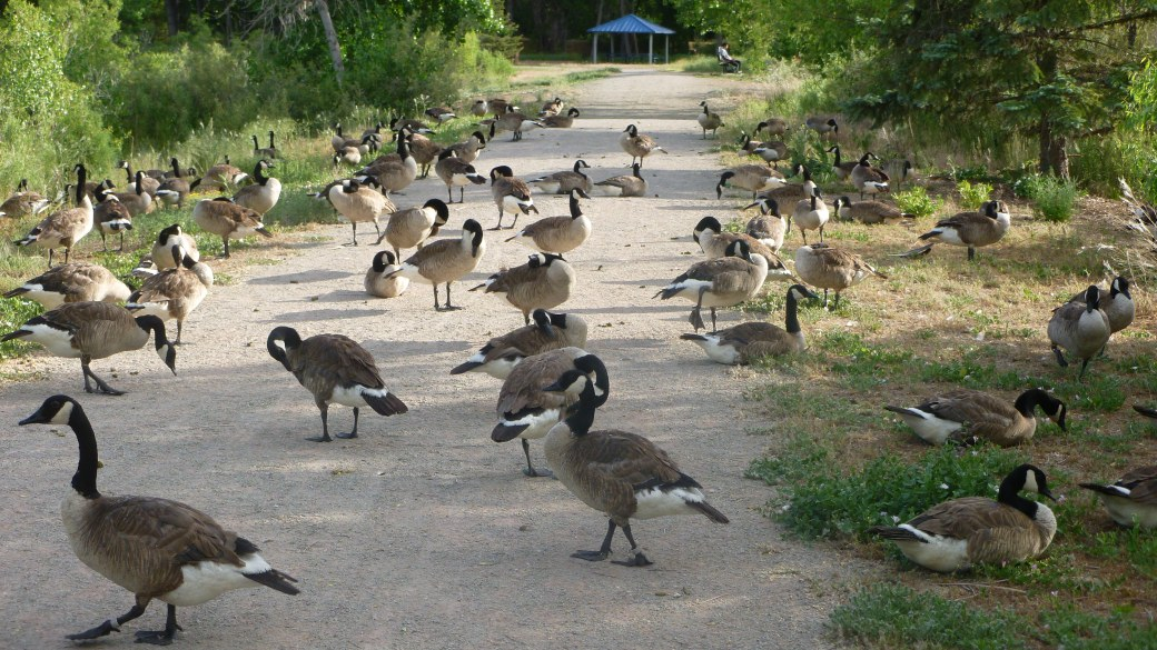 Geese After
