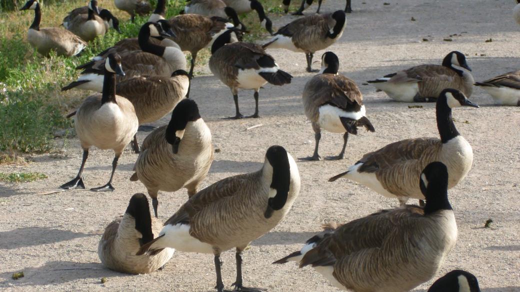 Geese Unfazed