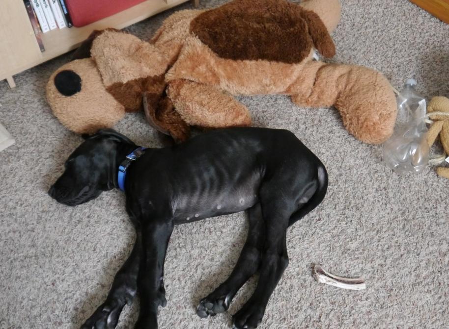 Big Dog Sleeping