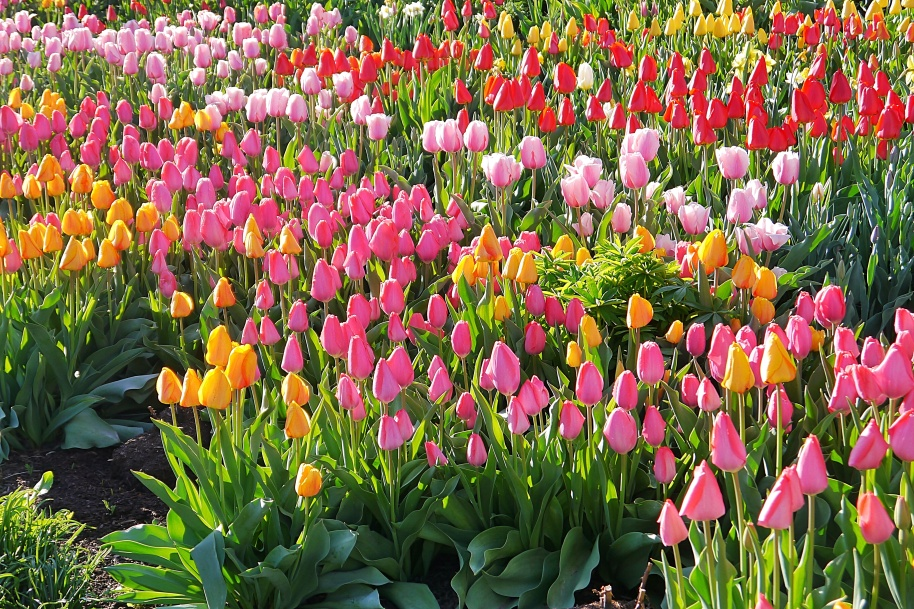 Spring Tulips1