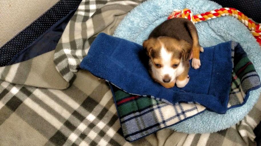 beagle puppeh(1600x1200)